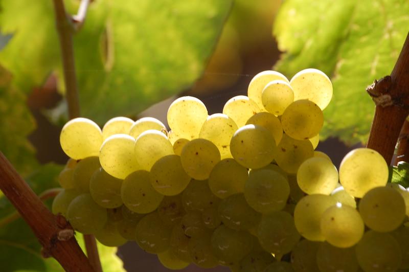 Grapes 239.JPG