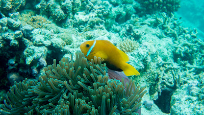 Maldives Anemonefish, Amphiprion nigripes