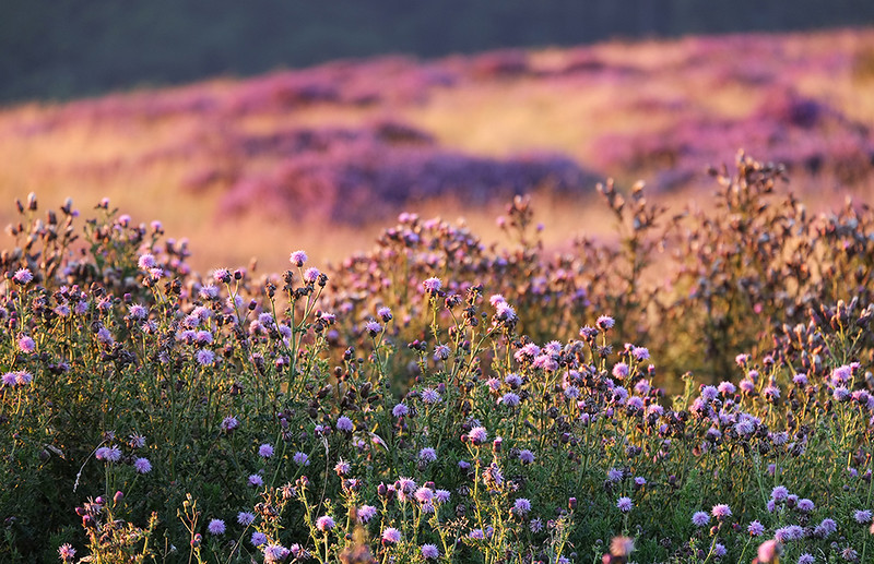Thistles and heather, North York Moors, England