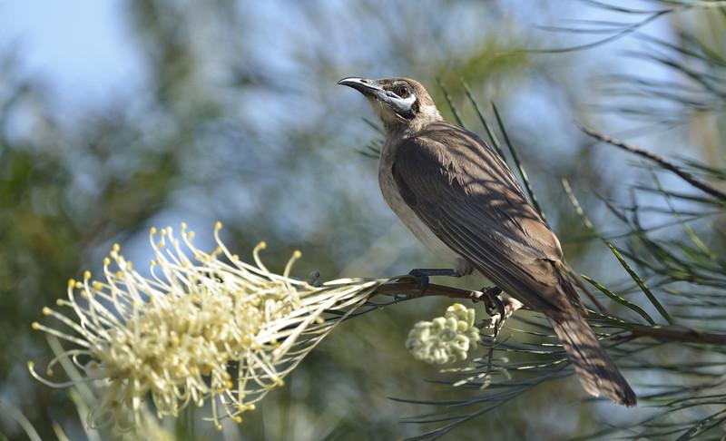 Little Friarbird (Philemon citreogularis)