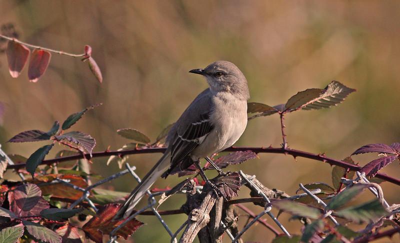 Mockingbird guarding the blackberry vines    (backyard)