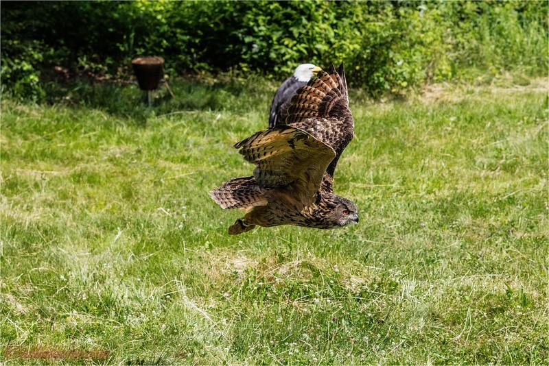 2016-07-01 Greifvogel-Flugshow Franz Rucklak Titisee -0U5A4158-Bearbeitet.jpg