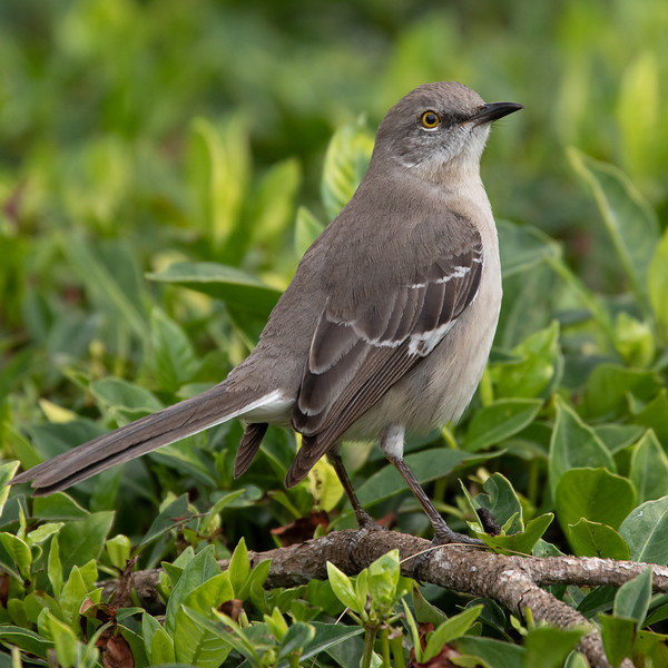 Northern Mockingbird-7082.jpg