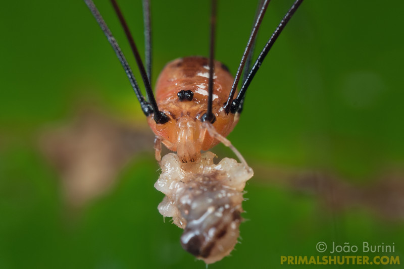 Harvestman feeding on an insect