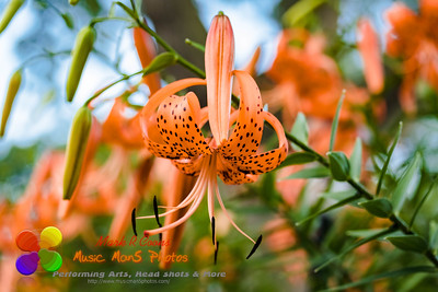 a fully opened blossom of a Tiger Lily in the garden