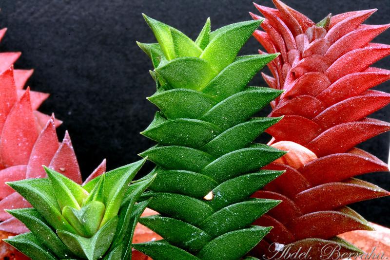 HAWORTHIA VISCOSA var. caespitosa  Family: Aloaceae Category: Cactus & Succulent Origin: South Africa
