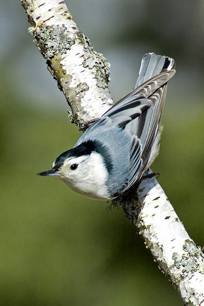 Nuthatch - White-breasted - male - Dunning Lake, MN - 02