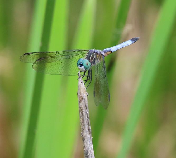 dragon fly 4.jpg