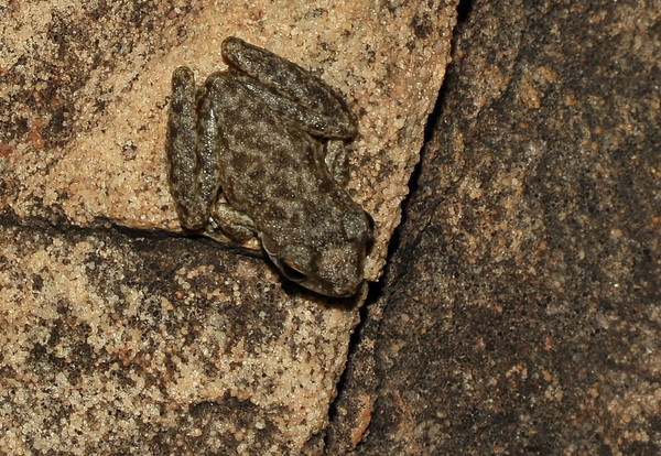 Amphibias