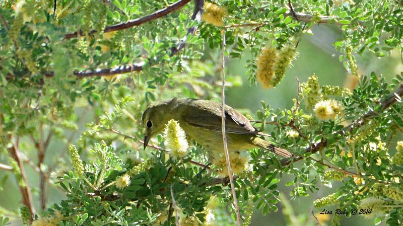 Orange-crowned Warbler - 4/6/2014 - Agua Caliente County Park, San Diego