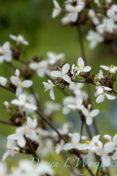 Libertia chilensis_6992_0975.jpg