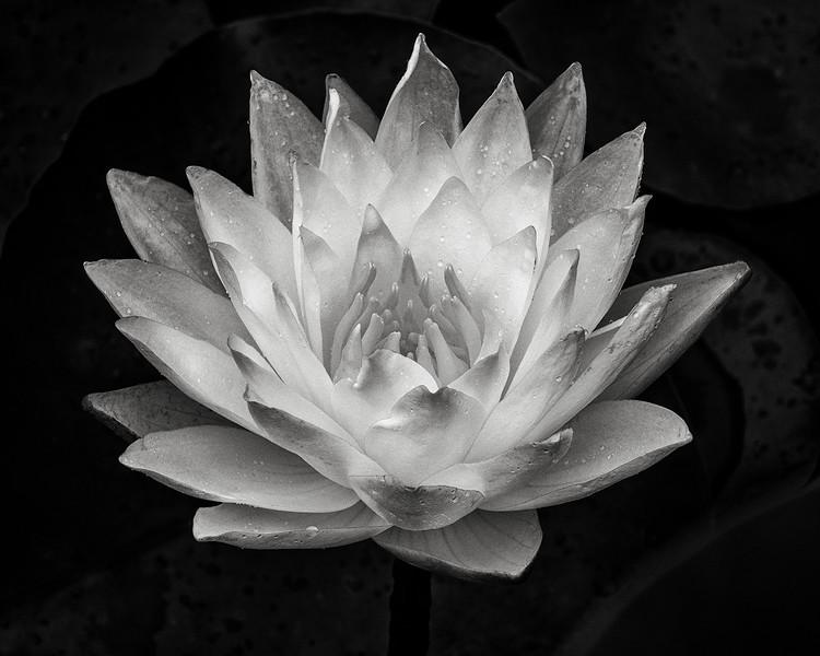 lotus-12.jpg