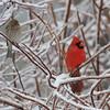 Cardinal + House Finch female