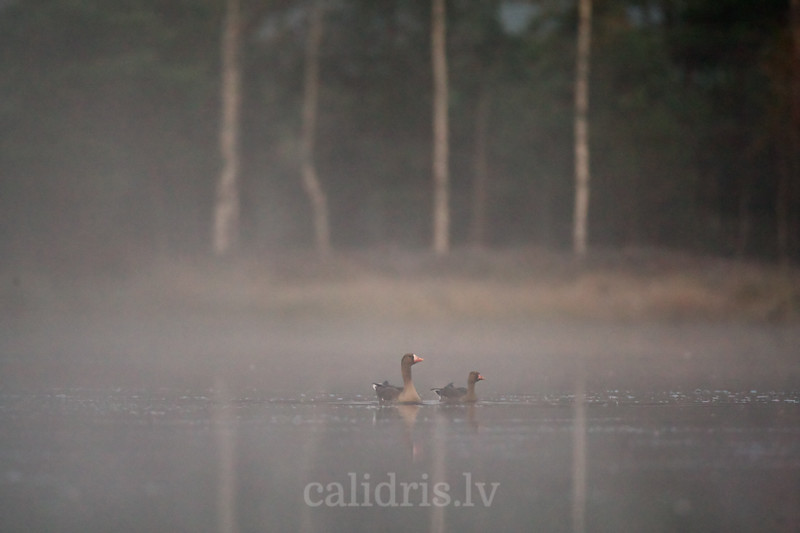 Baltpieres zosis ezerā rīta miglā / White-fronted Goose in a morning mist in a bog lake / Anser albifrons