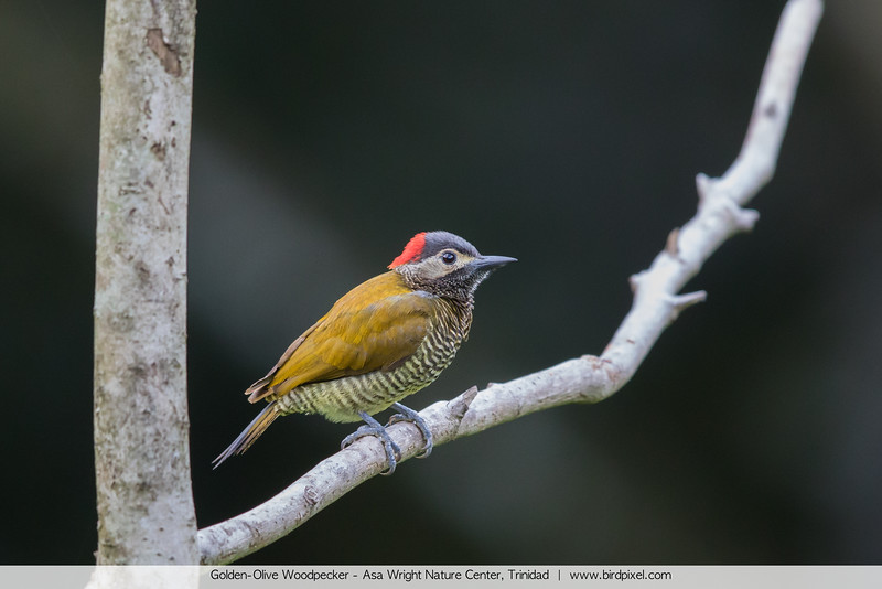 Golden-Olive Woodpecker - Asa Wright Nature Center, Trinidad