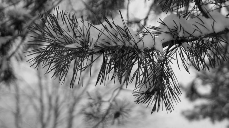 Evergreen BW.jpg