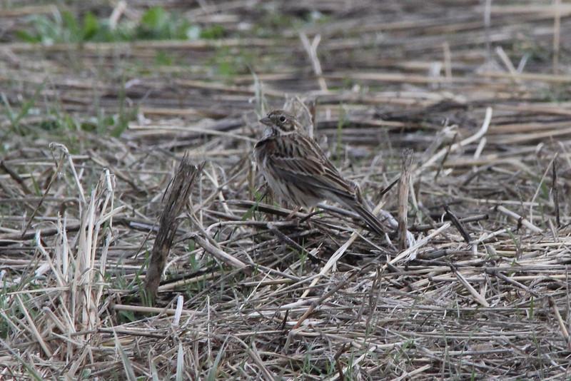 Vesper Sparrow @ Riverlands MBS [Orton Road]