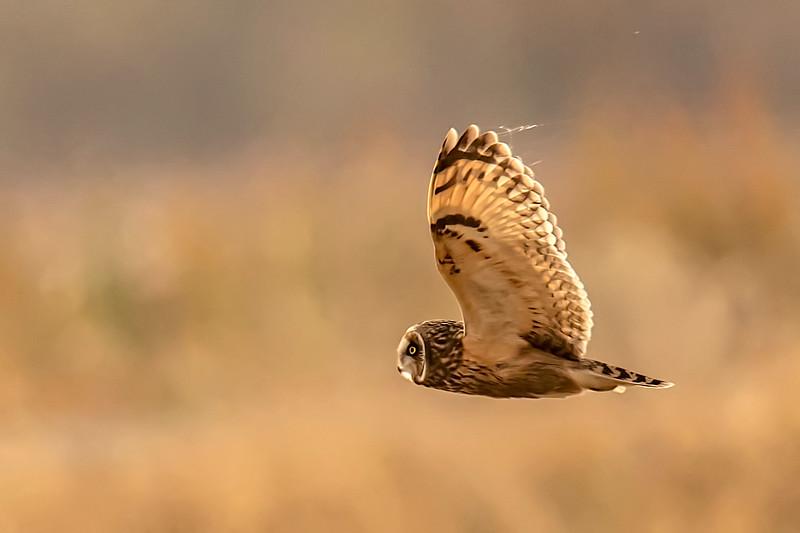 20191111Yolo Bypass Owls 7-11-19DSC_1434.jpeg