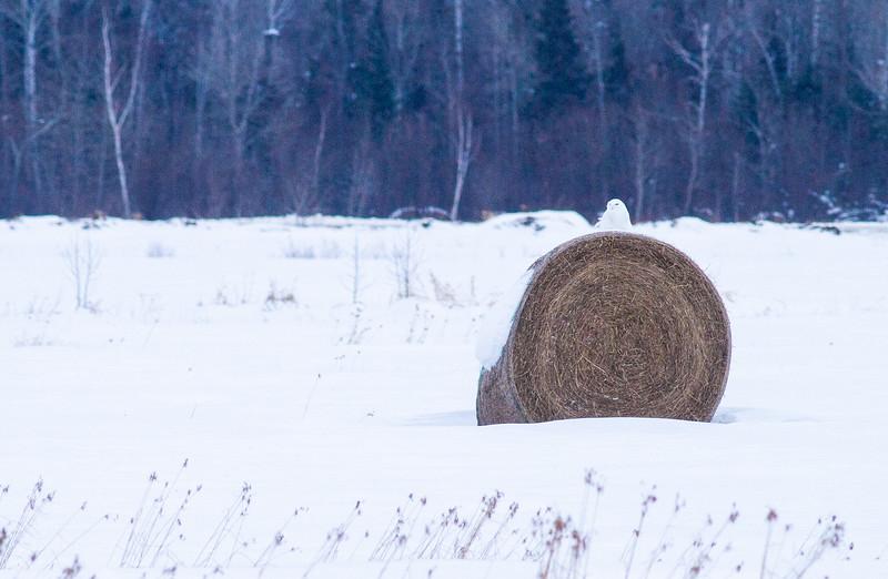 Snowy Owl mature male on haybale CR229-29 Dart Road Sax-Zim Bog MN  IMG_0014.jpg