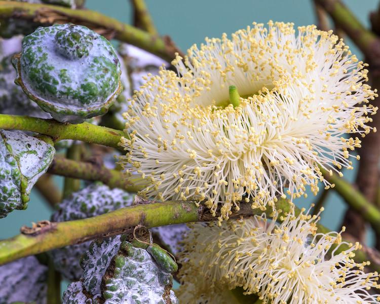 eucalyptus-04.jpg