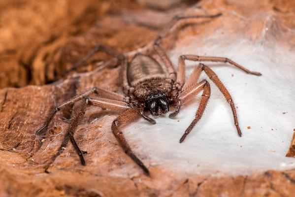 Hemicloea rogenhoferi - Flattaned bark spider