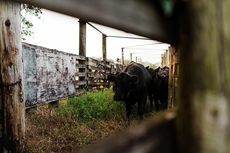 Barthle Cattle-2 (30 of 102).jpg