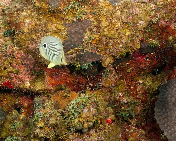 Foureye Butterflyfish