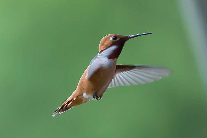 humming bird (40 of 55).jpg