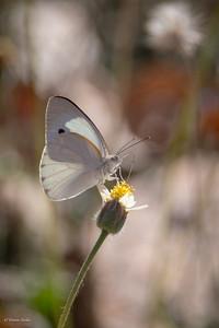 Colotis eris (spp. eris)