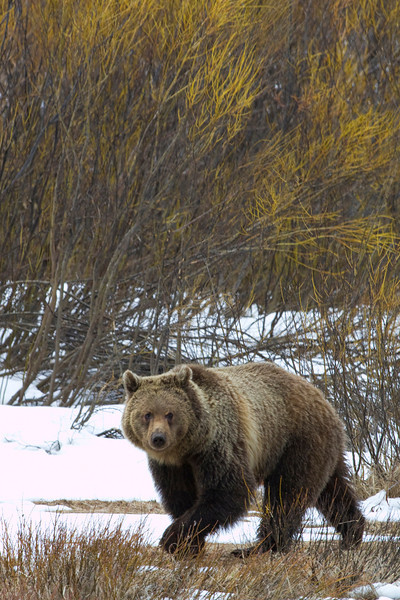 grizzly bear0174.jpg
