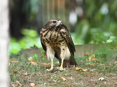 2011 Broad-winged Hawk