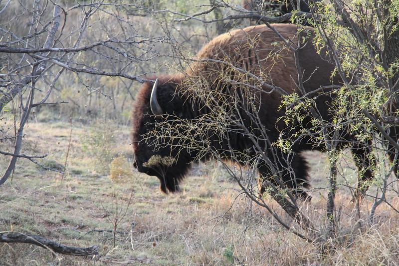 20171120-025 - Texas - Caprock Canyons SP - Buffalo.JPG