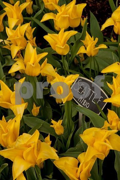 Tulips, Seattle 5333.jpg