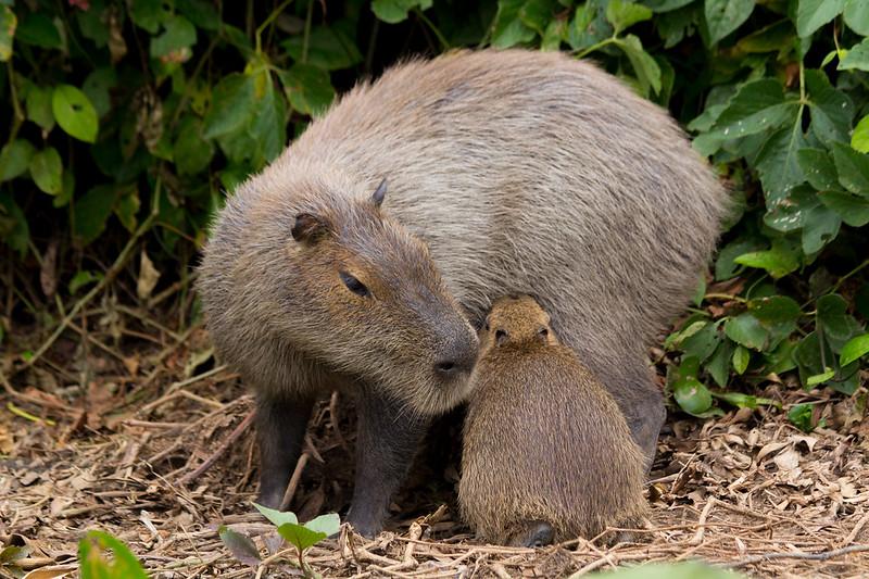 Capybara of the Pantanal, Brazil-9.jpg