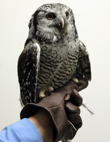 Sabastian the Northern-Hawk Owl