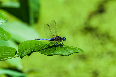 Dragon Fly - Riverbend Park Fairfax VA
