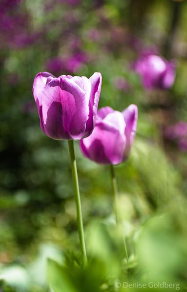 tulips in purple