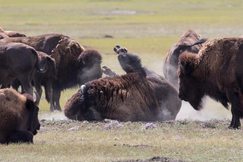 Bison Grasslands Canada 2019-3.jpg