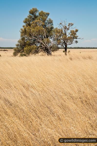 Native grassland and White Cyprus pine, Terrick Terrick NP
