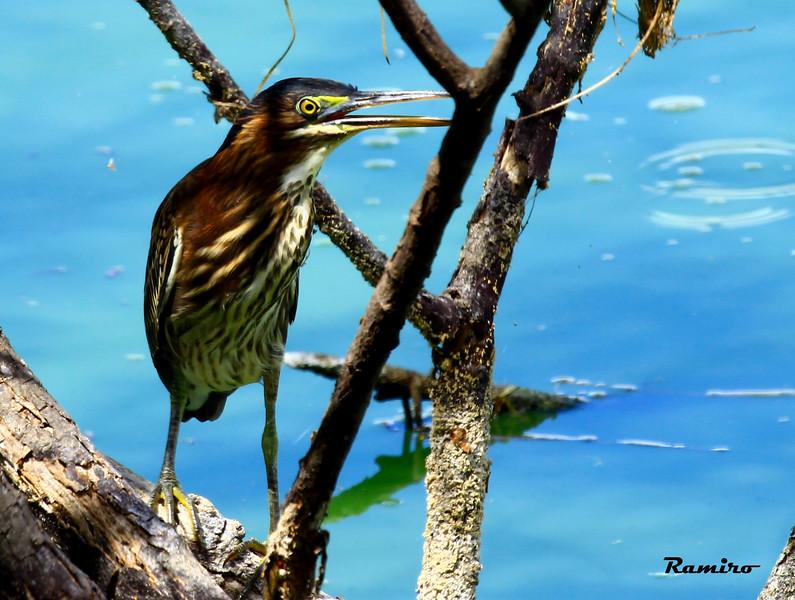 Green Heron 9-18-15 226.jpg