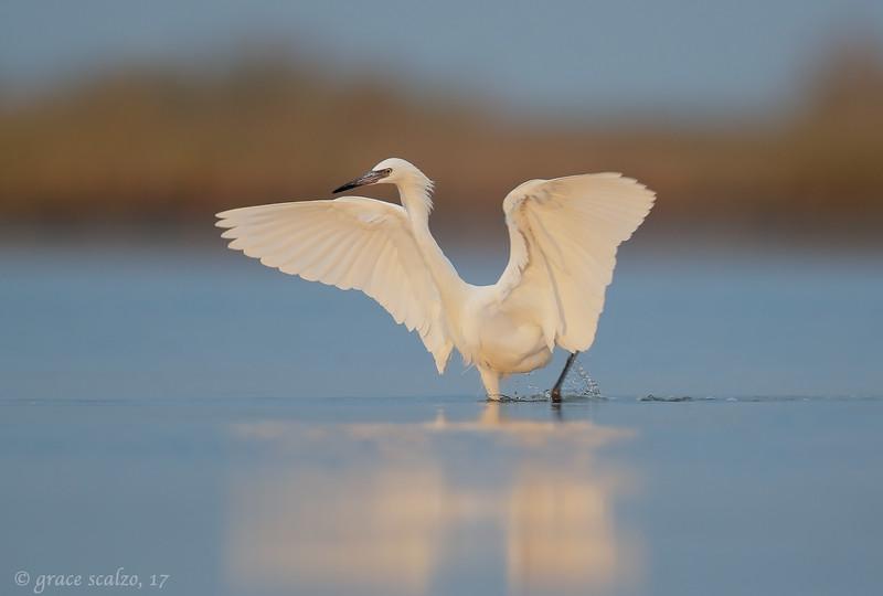 Reddish egret white morph_S243887.jpg