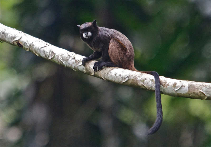 Black Tamarin