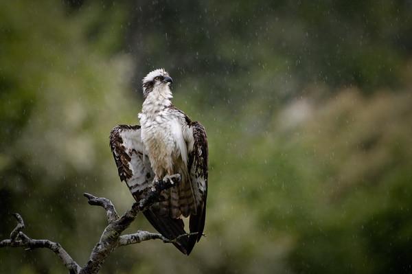Ospreys -- March, 2016