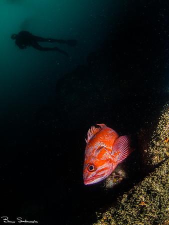 Sebastes miniatus (vermilion rockfish)