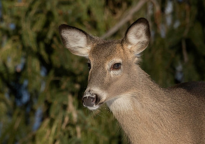 White -tailed Deer