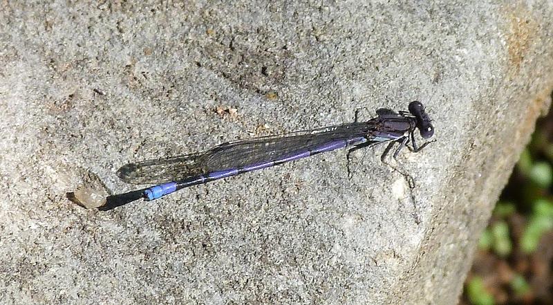 P103ArgiaFumipennis049 May 26, 2011  9:40 a.m.  P1030049 Argia fumipennis, Variable Dancer, at LBJ WC.  Coenagrionid.