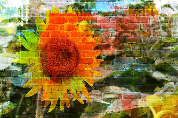 Lovely Sunflower Field In New Jersey