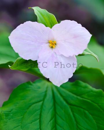 Trillium Photos - Spring 2011