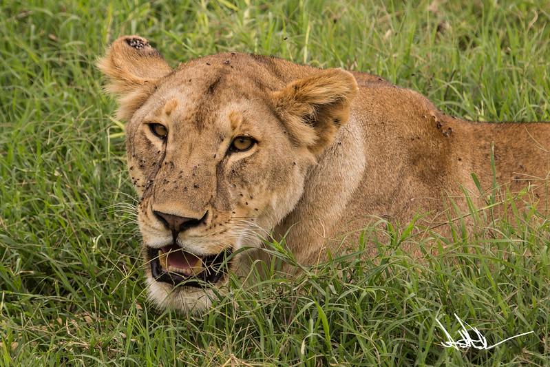 Lions Serengeti - S-12.jpg