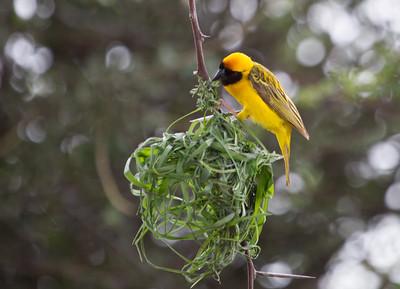 Southern-masked Weaver